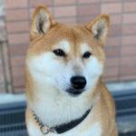 空(くぅ)/柴犬