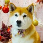 杏(あんず)/柴犬